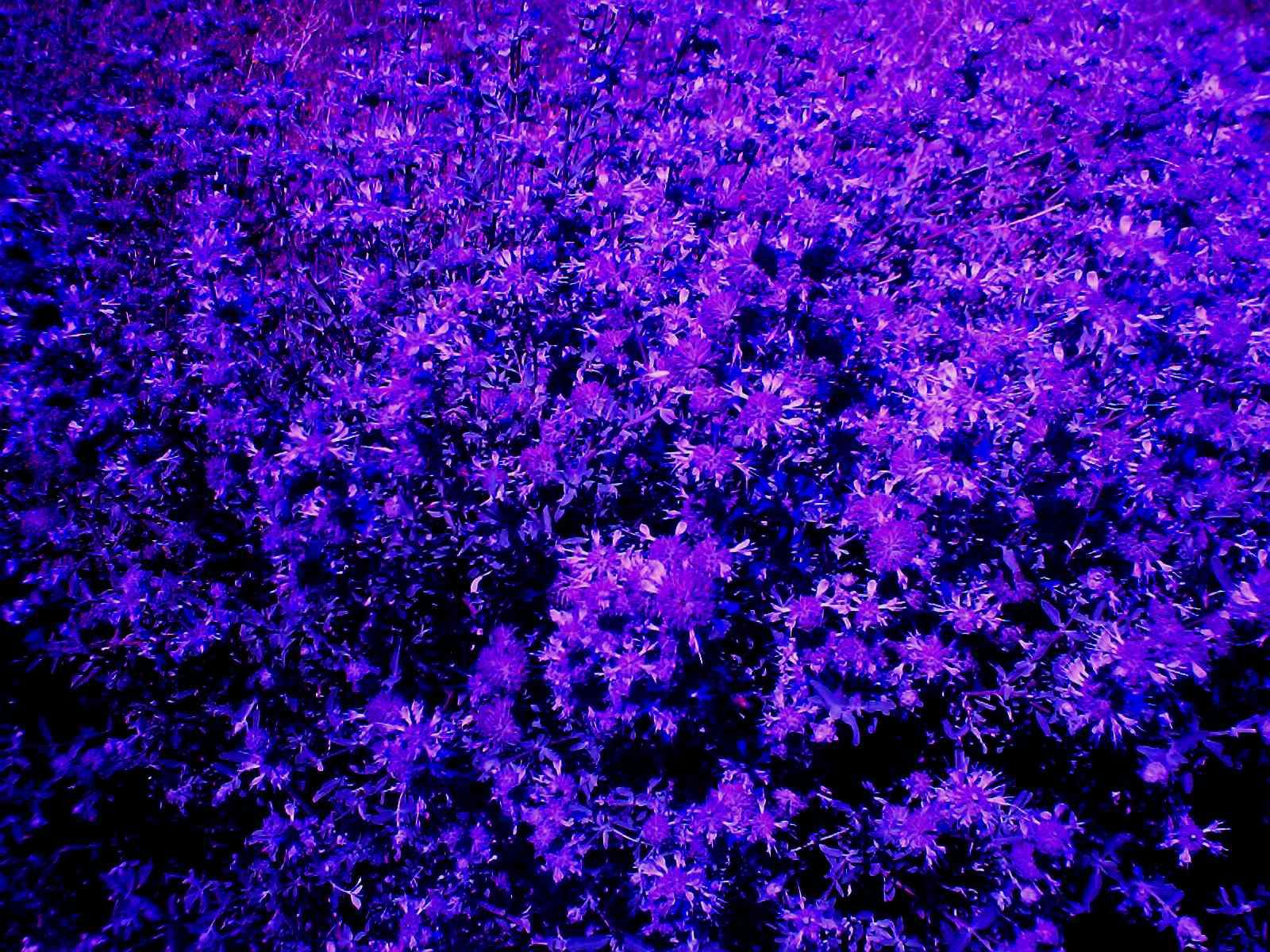 Сиреневый цветок как называется