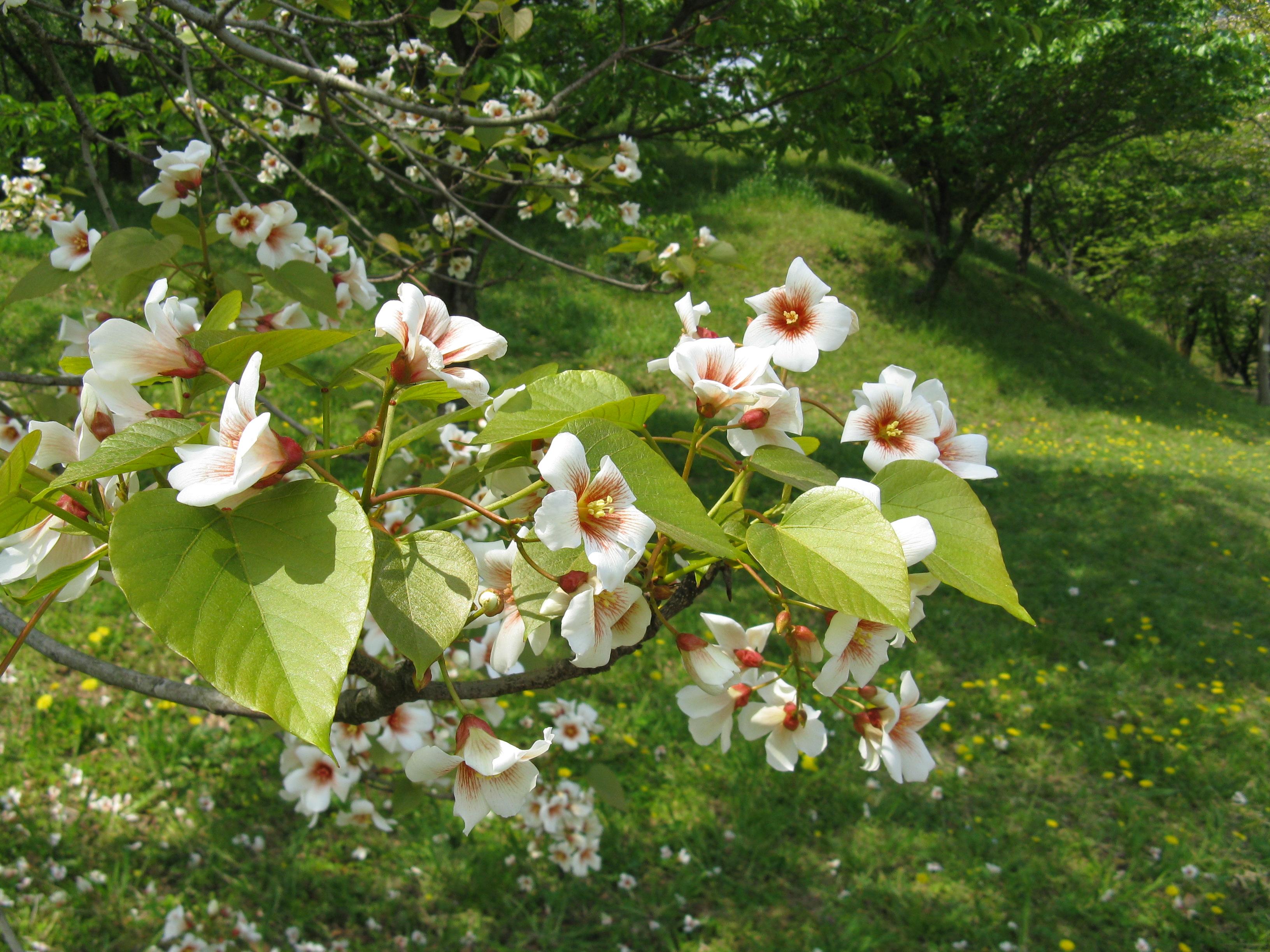 Тунговое дерево